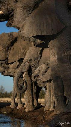 Elephant herd in Botswana, Africa. - title Happy Hour - photographer Greg De Toit