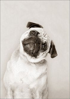 Harley, Pug - There's that look I just love.  No one but a Pug has it.  LOL