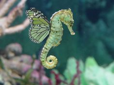 """A male sea horse """"giving birth"""" / Seahorse love: they hold tails with their mate…"""