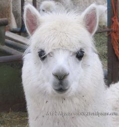 Alpacas are the cutest animal on earth!