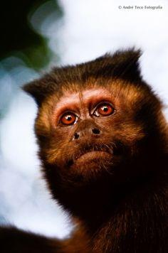 Macaco prego perfil