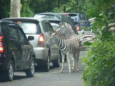 Javaman Travels - Taman Safari Park - Puncak Pass - Indonesia - News - Bubblews