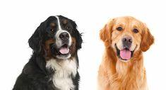 Beagle Mix Golden Retriever Beagle Golden Retriever Beagle