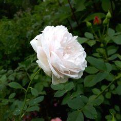 Ingmar trotsar vintern - odlar över 200 rosor i skärgården som egentligen inte skulle kunna överleva breddgraden   Trädgård   svenska.yle.fi Garden, Flowers, Plants, Garten, Lawn And Garden, Gardens, Plant, Gardening, Royal Icing Flowers