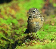 栗背林鴝.攝於台灣 台中縣 大雪山 Collared Bush Robin, taken at DaSyueShan, Taichung County, TAIWAN