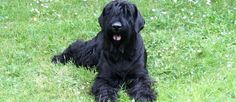 Giant Schnauzer -- a large, powerful and compact breed Standard Schnauzer, Giant Schnauzer, Schnauzer Dogs, Really Cute Puppies, I Love Dogs, Dressage, Schnauzer Gigante, Hypoallergenic Dog Breed, Dog Breed Info