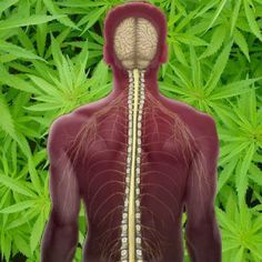 Study Shows Cannabis Compound May Help Treat Spinal Cord Injuries