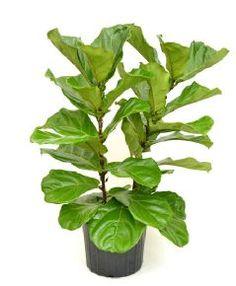 Fiddle Leaf Fig @ Bachman's