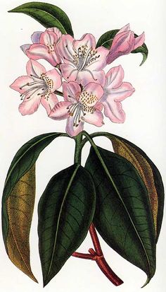 John Curtis (1791-1862) prepared this illustration of Rhododendron minus for Volume 49 of Curtis's Botanical Magazine, published in 1822.