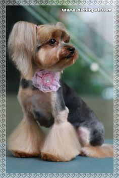 -Repinned- Cute groom on a Yorkie. Almost looks like pony tails. Adorable!