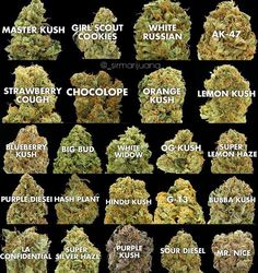 Medical So many strains of marijuana, so little time! Discover edible cannabis that you . my shit So many strains of marijuana, so little time!