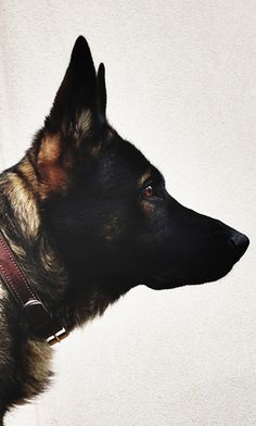 THE GERMAN SHEPHERD tipS : http://germanshepherd101.com/