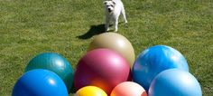 When it comes to fun games to play with your dog, Treibball is one dog sport that's fun for you