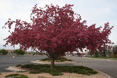 'Robinson' Crabapple  Spring/ Fall interest. Spring Blooming Trees, Spring And Fall, Shrubs, Vines, Sidewalk, Backyard, Grasses, Landscape, Solitude