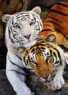 Best Friends Forever White Tiger and Bengal Tiger Animals And Pets, Funny Animals, Cute Animals, Wild Animals, Baby Animals, Jungle Animals, Beautiful Cats, Animals Beautiful, Amazing Animals