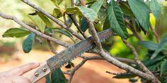 Πότε και πώς γίνεται τo κλάδεμα της μουσμουλιάς   Τα Μυστικά του Κήπου