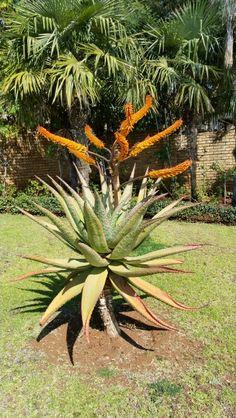 Aloe marlothii in flower July 2015.