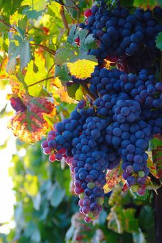 Photo about Ripe blue wine grape (zametovka or modra kavcina sort) of the Old Vine in Maribor (oldest vine in the world) in late summer sunset. Image of ripe, maribor, europe - 44854178