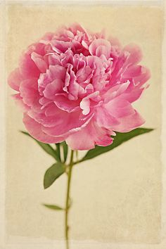pink peony- for the most amazing women I've ever known❗