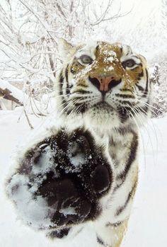 Tiger five