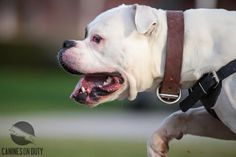 American Bulldogs, Training, Animals, Amor, Animales, Animaux, Work Outs, Animal, Excercise