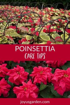 Poinsettias can be tricky to maintain indoors even for a few weeks. These Poinsettia plant care tips can help keep yours alive and looking good. #poinsettia #christmasplants #christmas #poinsettias #poinsettiacare Planting Succulents, Garden Plants, Planting Flowers, Flower Gardening, Flowers Garden, Air Plants, Red Flowers, Spring Flowers, Garden Art