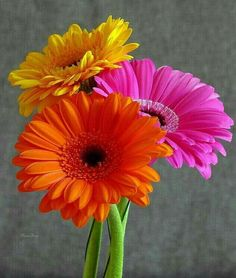 Sacred Really Like - 22 Solutions That Should Change The Tide In Your Daily Life Along With The Lives Of Any Individual Gerberas - Plantas Exteriores Con Flores Happy Flowers, Flowers Nature, Pretty Flowers, Colorful Flowers, Tropical Flowers, Purple Flowers, Gerbera Daisy Seeds, Gerbera Jamesonii, Gerbera Daisies