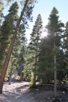 Trees of Mt. Charleston on the Little Falls Trail in Nevada - USA  | Travel Dudes Social Travel Blog