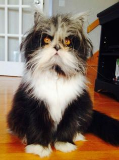 ...This crazily adorable kitty looks like he's got a permanent case of bed head, but this is due to the fact that he suffers from a medial condition known as hypertrichosis. As a result, poor Atchoum lives with excessive hair growth all over his body.