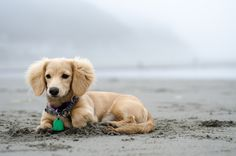 Bambi The Dachshund Is Guaranteed To Bring Infinite Joy To Your Life Dachshund Breed, Long Haired Dachshund, Dachshund Love, Daschund, Golden Dachshund, Cute Puppies, Cute Dogs, Dogs And Puppies, English Cream Dachshund