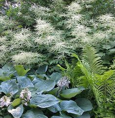A Focal Point for the White Shade Garden: Aruncus dioicus (Goat's Beard)