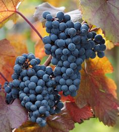Cabernet Sauvignon is a small, round, black grape for wine-making; it is one of the most renowned red wine grapes. Cane pruning. Ripens late September to October.$11