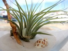 #plantasdeaire #airplants #tillandsia  #evergreenlanzarote #livingart #tillandsiaionanthakolbii #glasshanger #seasand #shell #recycledseawood