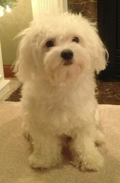 Pictures the Maltese along with bios on the dogs. Maltese Yorkie Puppy, Maltese Dog Breed, Maltipoo, Teacup Maltese, Teacup Puppies, Super Cute Puppies, Adorable Puppies, Baby Animals, Cute Animals