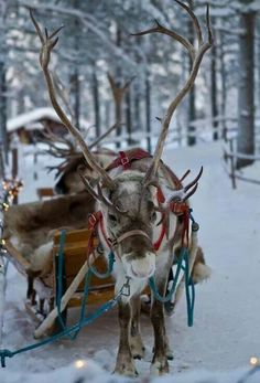 This is a female reindeer. Male reindeer have shed their antlers by winter. Santa's reindeer were all girls except for Rudolph, who would not have had antlers. He had his special bright nose instead!