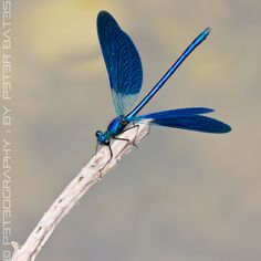 Flying Blue Dragonfly Peter Bates