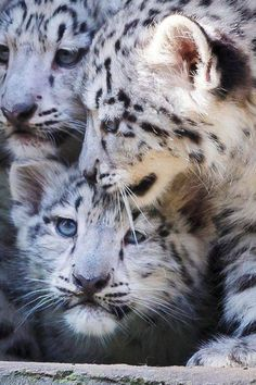 Snow Leopard Cubs. Via Nature Gallery -fb