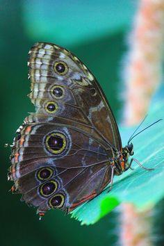 Owl Butterfly - broken / 500px Moth, Butterflies, Butterfly, Bow Ties, Papillons