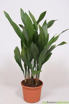 Aspidistra elatior (Ruscaceae) G. kukoricalevél K-Ázsia (HOLA.)