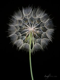 Dandelion puff…would love to paintthis.