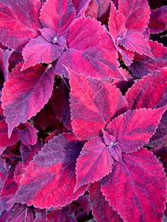 Love this. Nice change from the traditional coleus colors. Would look great in the back yard beds. COLEUS Crazy Quilt