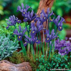 Blue Specie Iris Bulbs Dark Blue, Iris reticulata, Specie Iris or Wild Iris