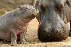 Baby hippo at the Dublin Zoo makes us smile!