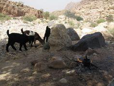 Zu Gast nicht bei Ziegen sondern bei Beduinen auf einen Tee. Foto: Doris Safari, Animals, Photos, Goats, Animais, Animales, Animaux, Animal, Dieren