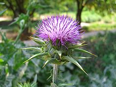 Milk thistle is most commonly sought for its medicial properties of preventing and repairing liver damage. But most parts of the plants are also edible and tasty. Until recently, it was commonly cultivated in Eurpoean vegetable gardens. Leaves can be de-spined for use as salad greens or sautéed like collard greens; water-soaked stems prepared like asparugus; roots boiled or baked; flower pods used like artichoke heads.