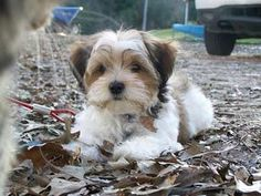 yorkie mixed puppies for sale mn shichon teddy bear puppies for sale in pa dog love 7232