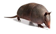 Armadillos Transmit Leprosy to Humans, Study Confirms - NYTimes.com. If you do get it, it can be treated now with antibiotics. The key is to know the association and diagnose and cure it quickly. This problem does not have to be so scary in modern times. They can infect soil where they have been digging...this is a very real concern. It is rare to be infected by them and even more rare to be infected in the U. S. and especially from soil they have dug in....