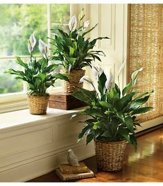 Classic green spathiphyllum plants.  Always great for a housewarming gift.    https://busseysflorist.com/categories/Plants/