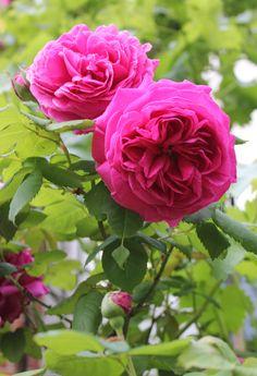 Deuil-de-dr-reynaud Roses