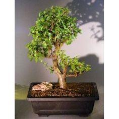 Bonsai Boy's Baby Jade Bonsai Tree Portulacaria Afra$295.00: www.amazon.com/Bonsai-Boys-Baby-Jade-Portulacaria/dp/B004XVJOHC/?tag=sure9600pneun-20